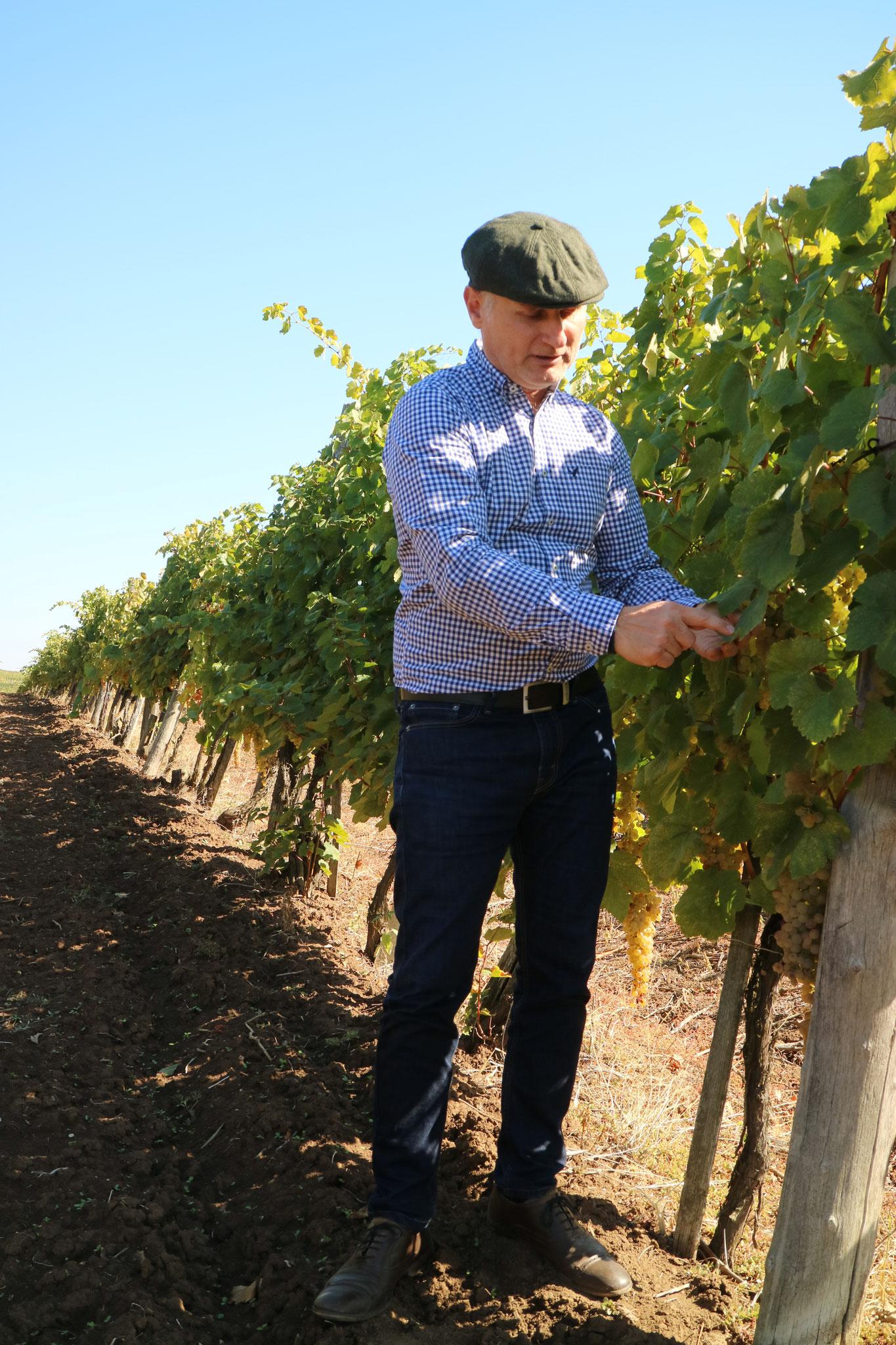 Dr. István Matyaskovski in seinem Weingarten in Tokaj