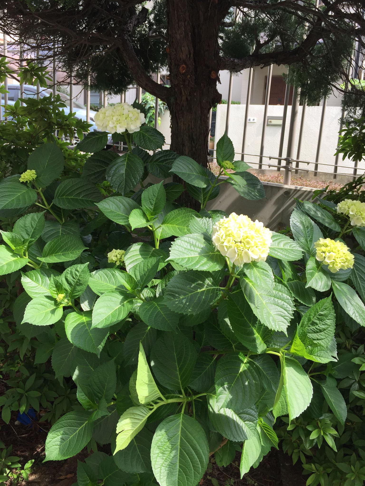 送迎口のアジサイがきれいに咲いてました。
