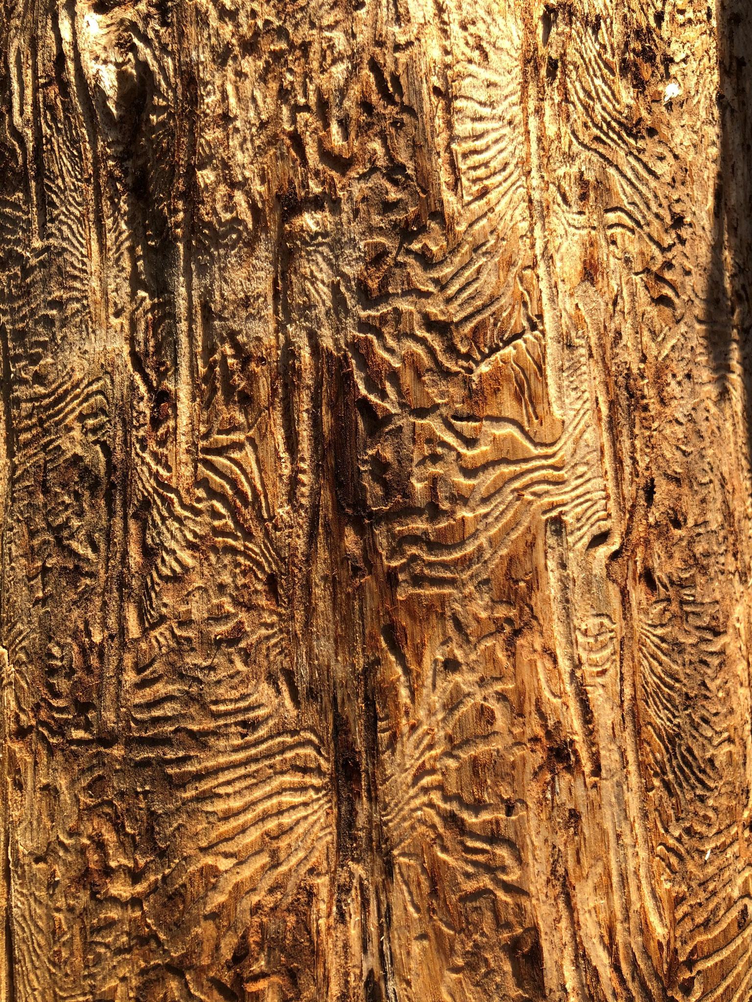 (C) D. Pagendarm: Fraßspuren von Borkenkäfern