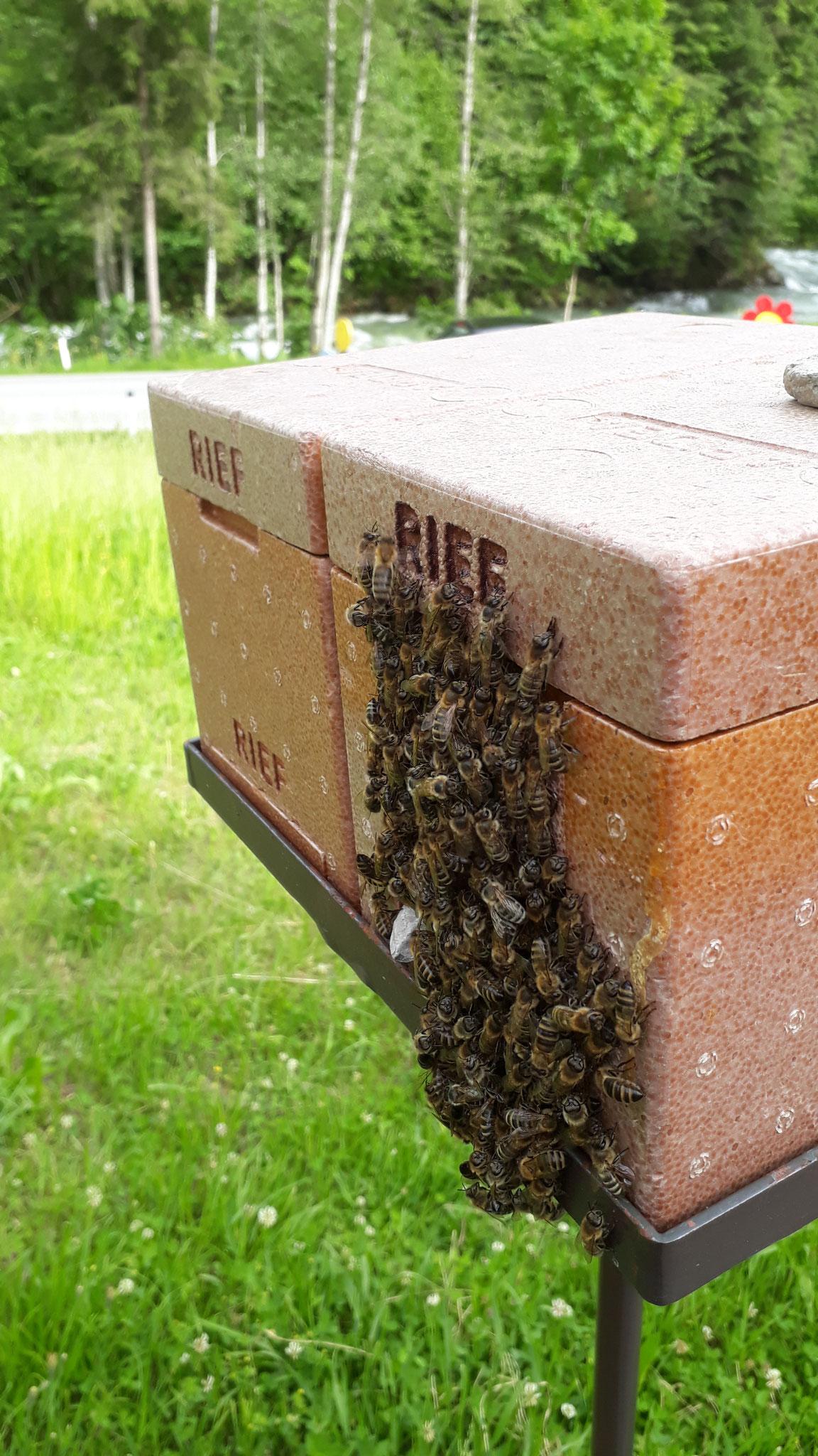 ein winziges Bienenvolk