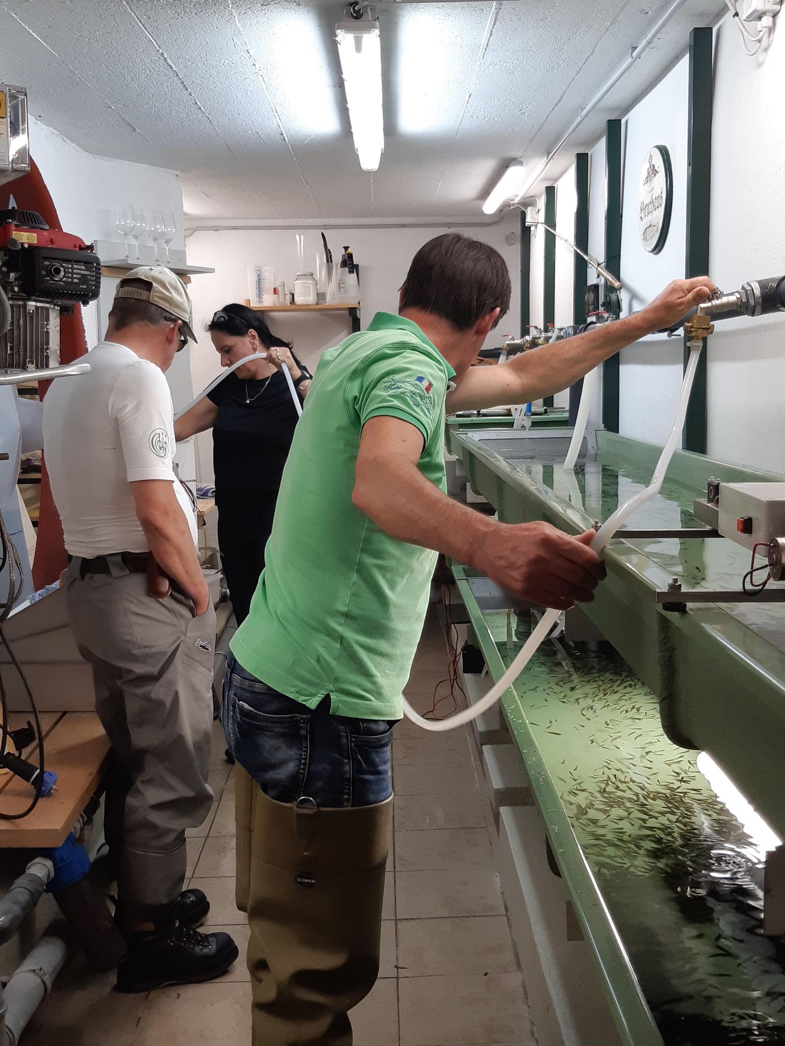 Entnahme von  13.200 Bachforellenbrütlingen aus dem Bruthaus der Initiative