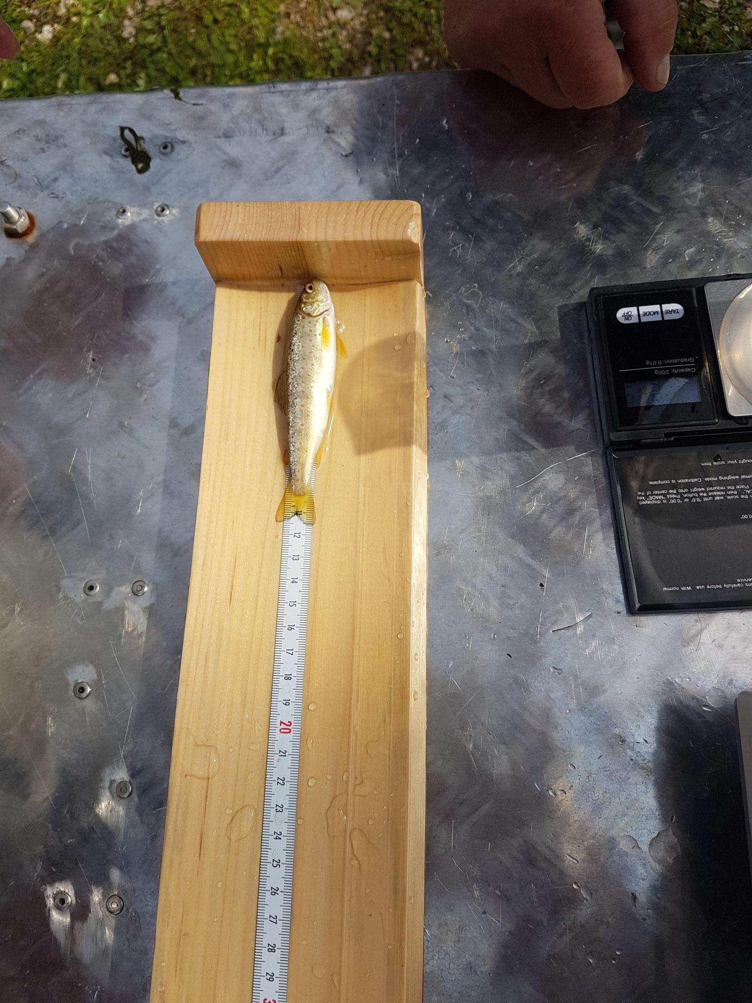 Längen-/Gewichtsbestimmung