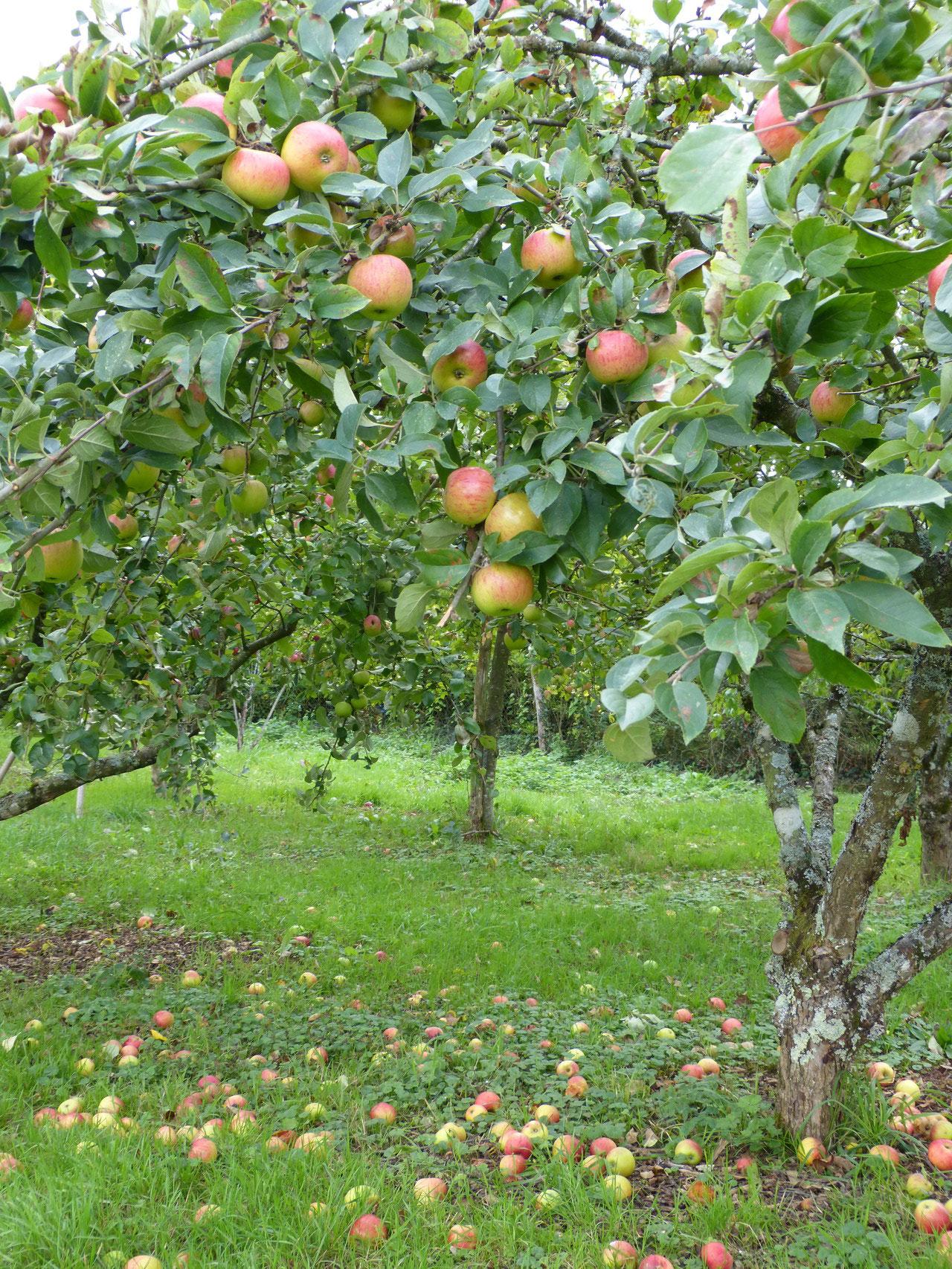 pommes et pommiers automne 2015