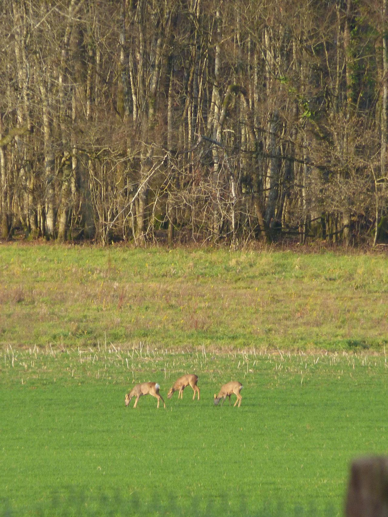 chevreuils dans un champ, Pays d'Othe