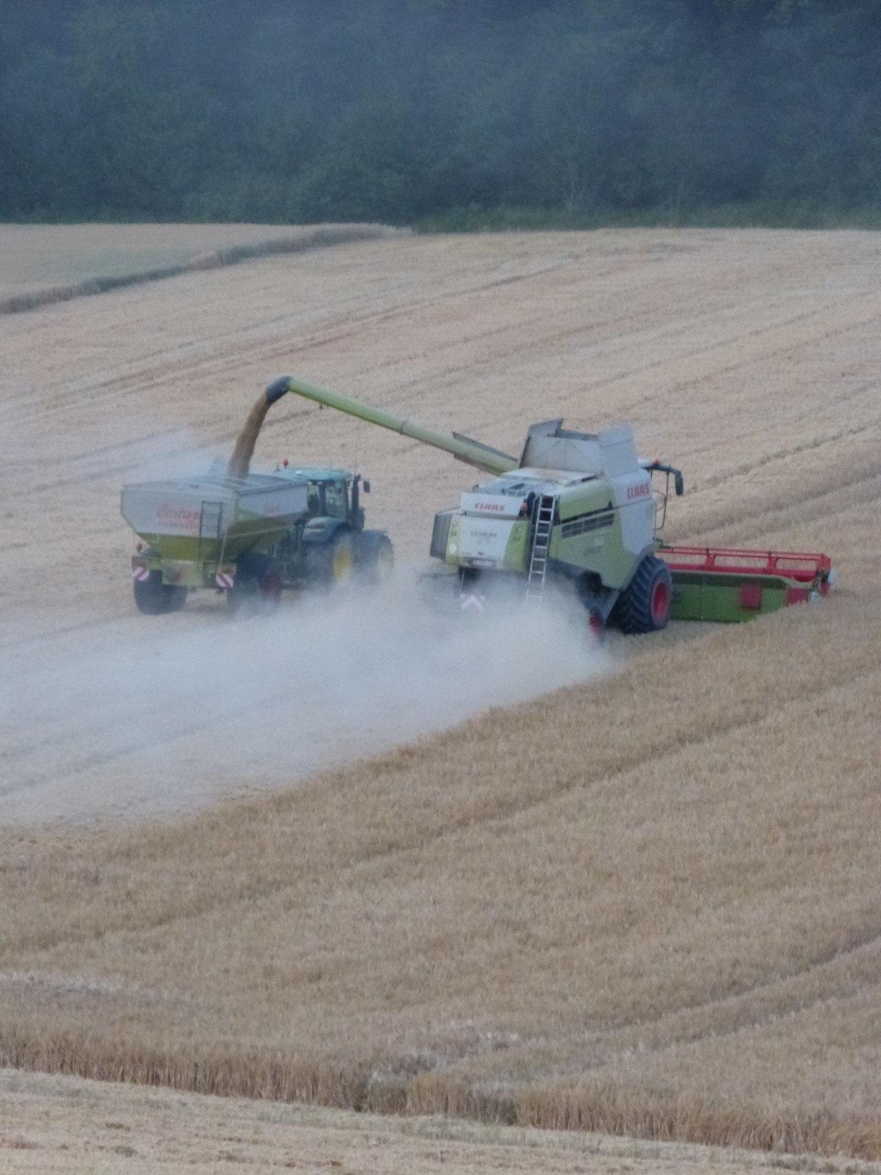 récolte de blé en juillet