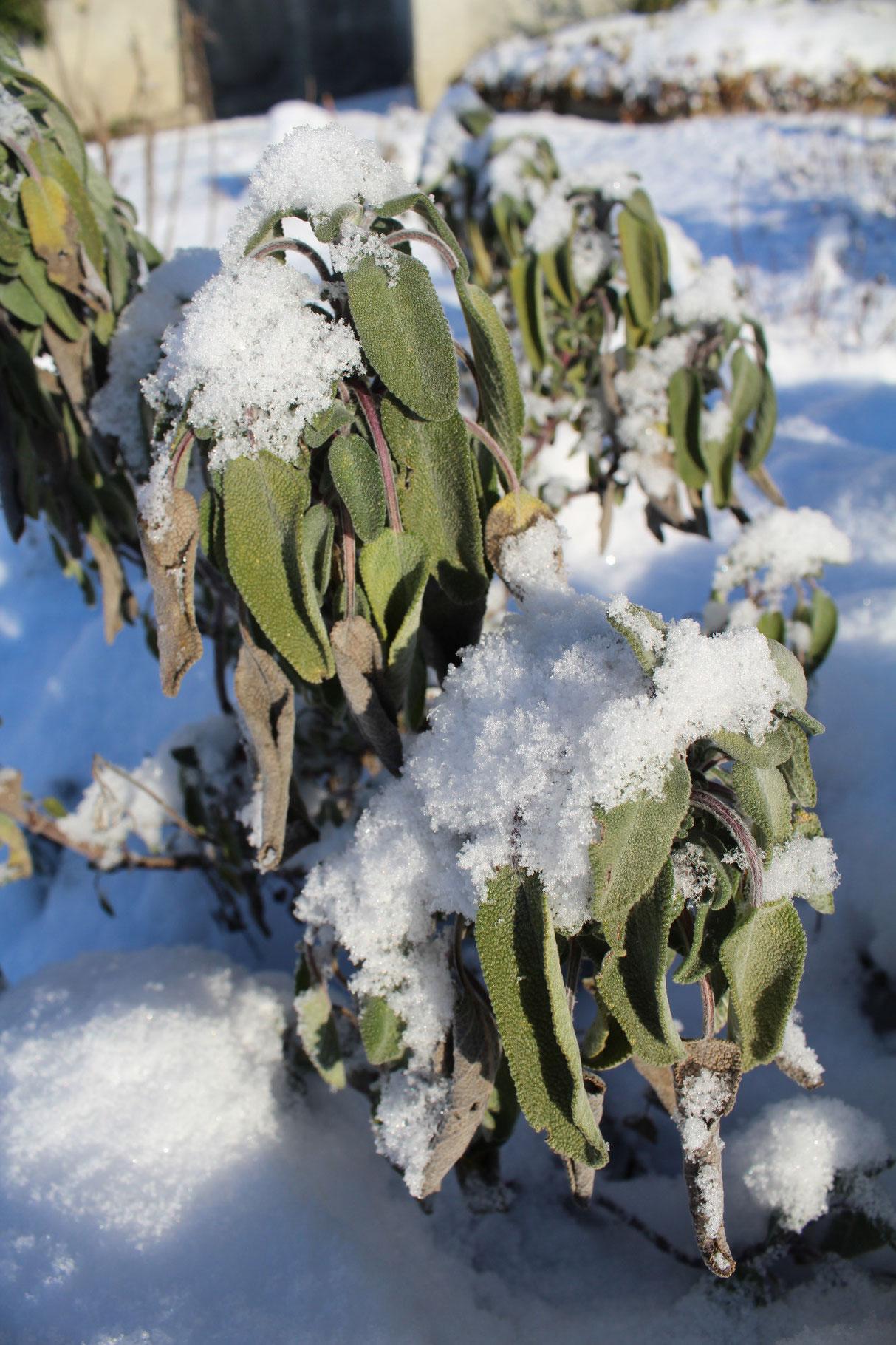 Salbei unter der Schneedecke