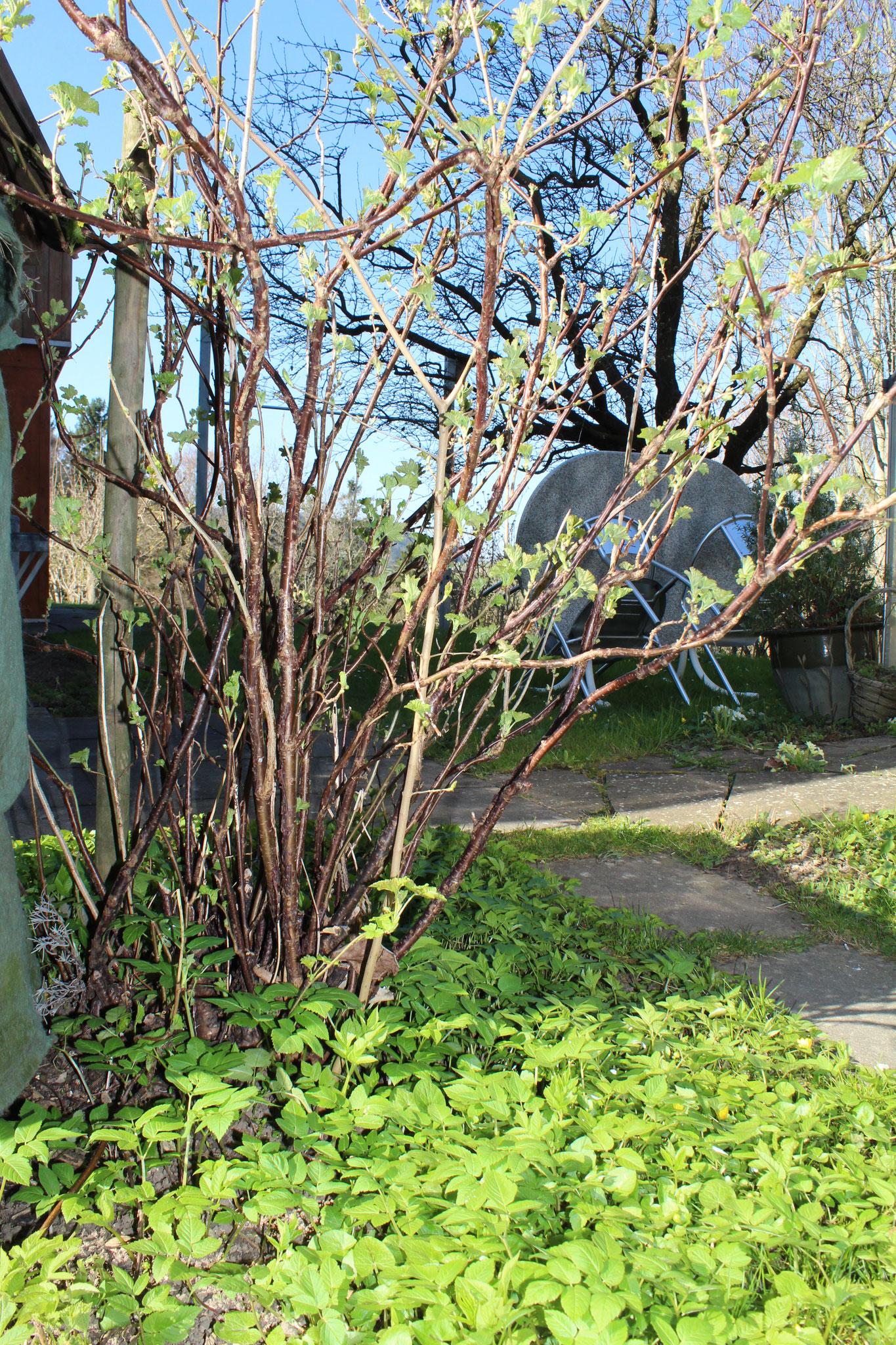 Der Giersch wächst im Hortulus unter dem Johannisbeeren Strauch