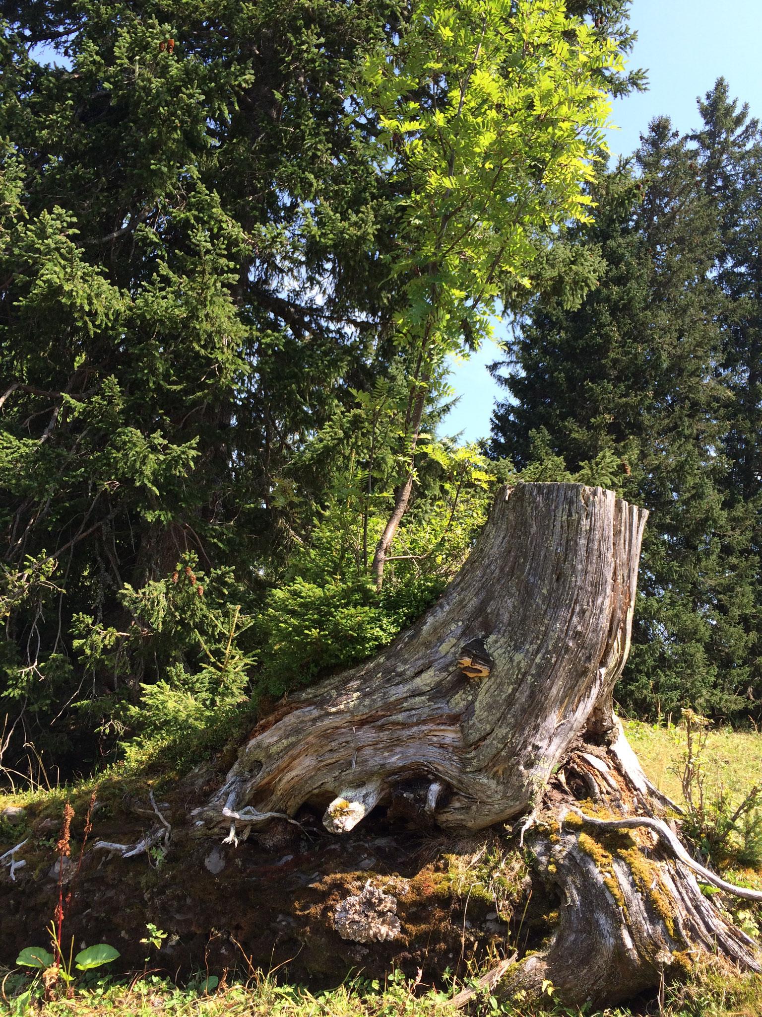In der Nähe von gefällten Bäumen, kann ein Fundort sein von feinen Kräutern