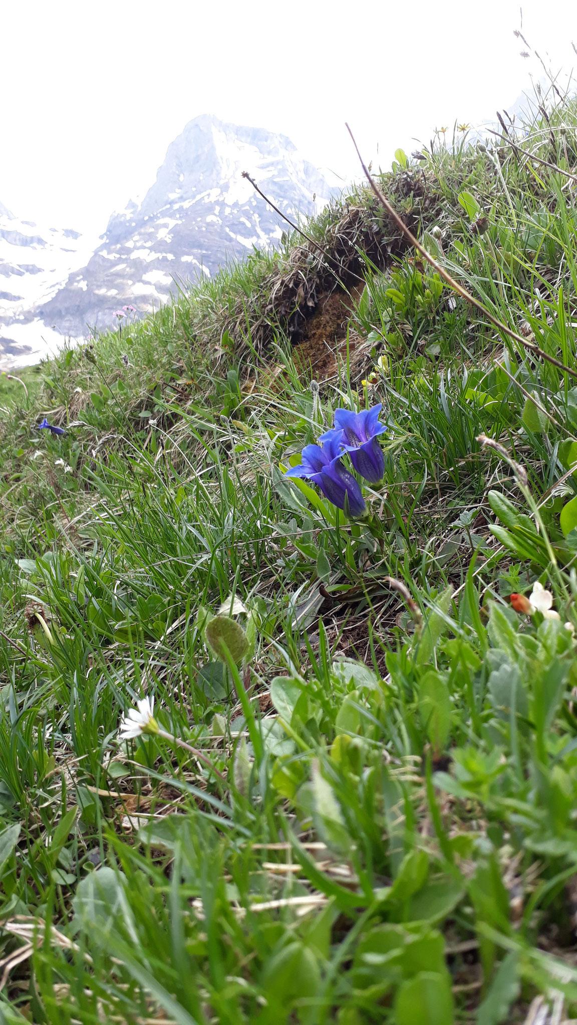 ... Enzian sind nur ein kleiner Teil der wunderbaren Flora.