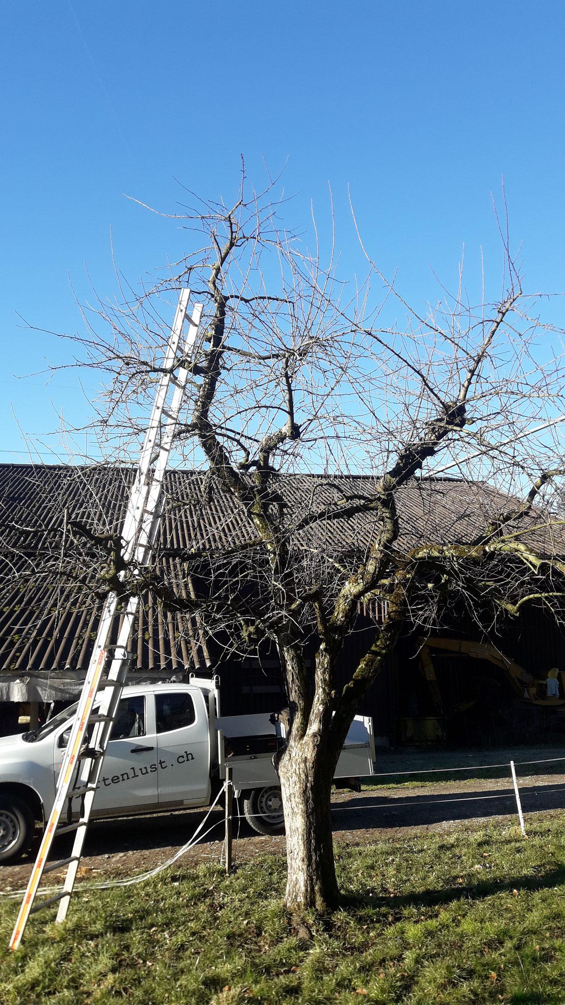Apfelbaum Maigold vor dem Schnitt