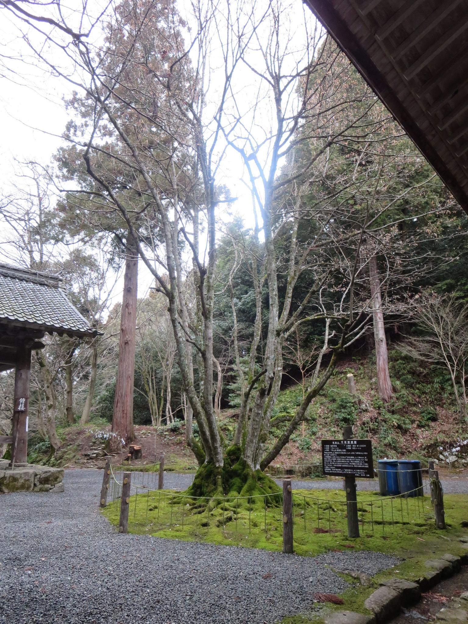 金堂横の千年菩提樹