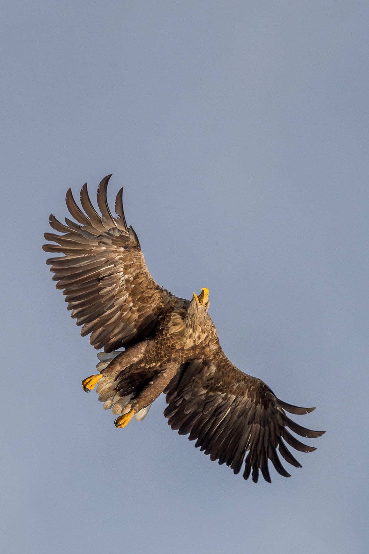 Unglaubliche 2,50 Meter Spannweite betragen die brettartigen Flügel des Seeadlers! Foto: Eric Dienesch
