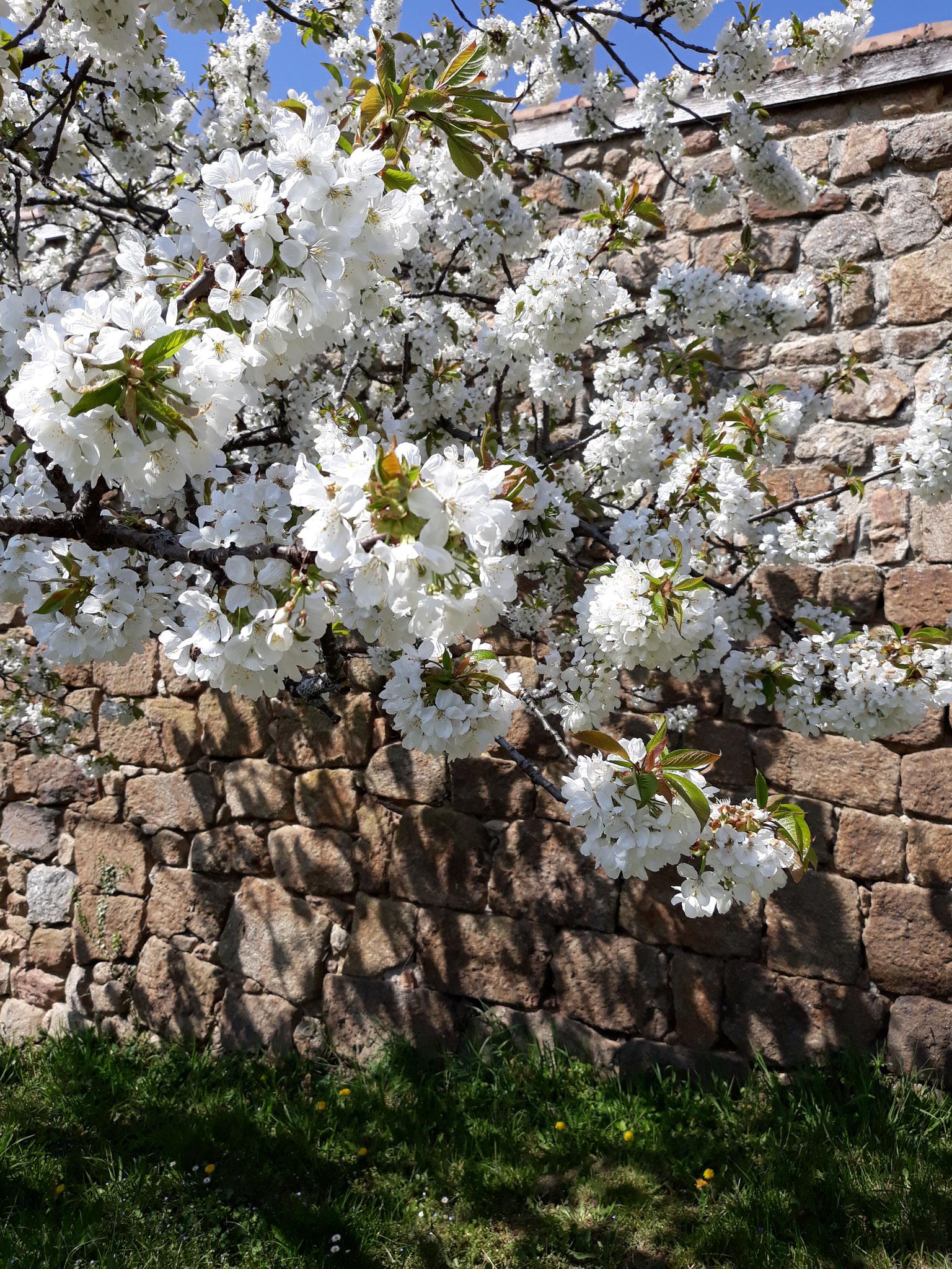 de kersenbloesem in de tuin