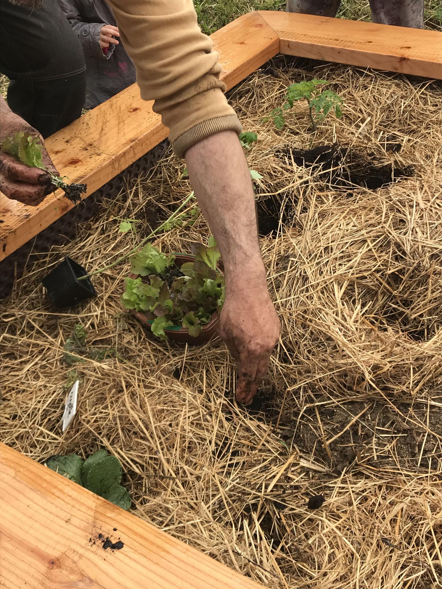 Plantation de salade