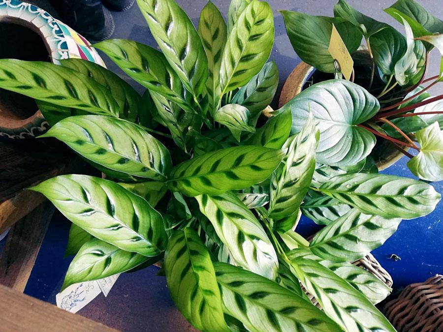 Les plantes d'intérieur arrivage toutes les semaines