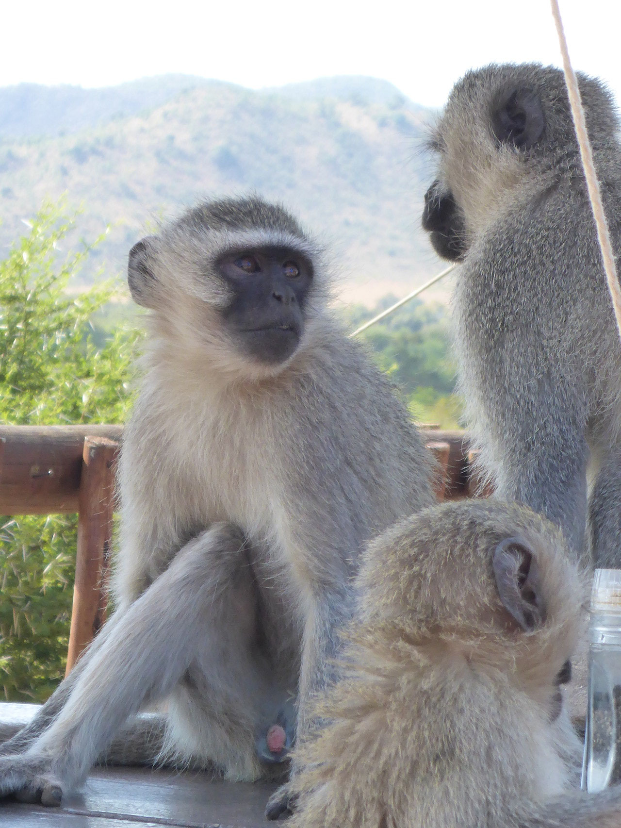 of course the monkeys shouldn't miss at the restaurant #shopping in da bush