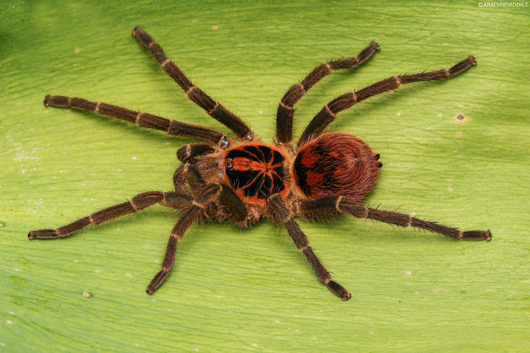 0.1 Theraphosinae sp. Kolumbien