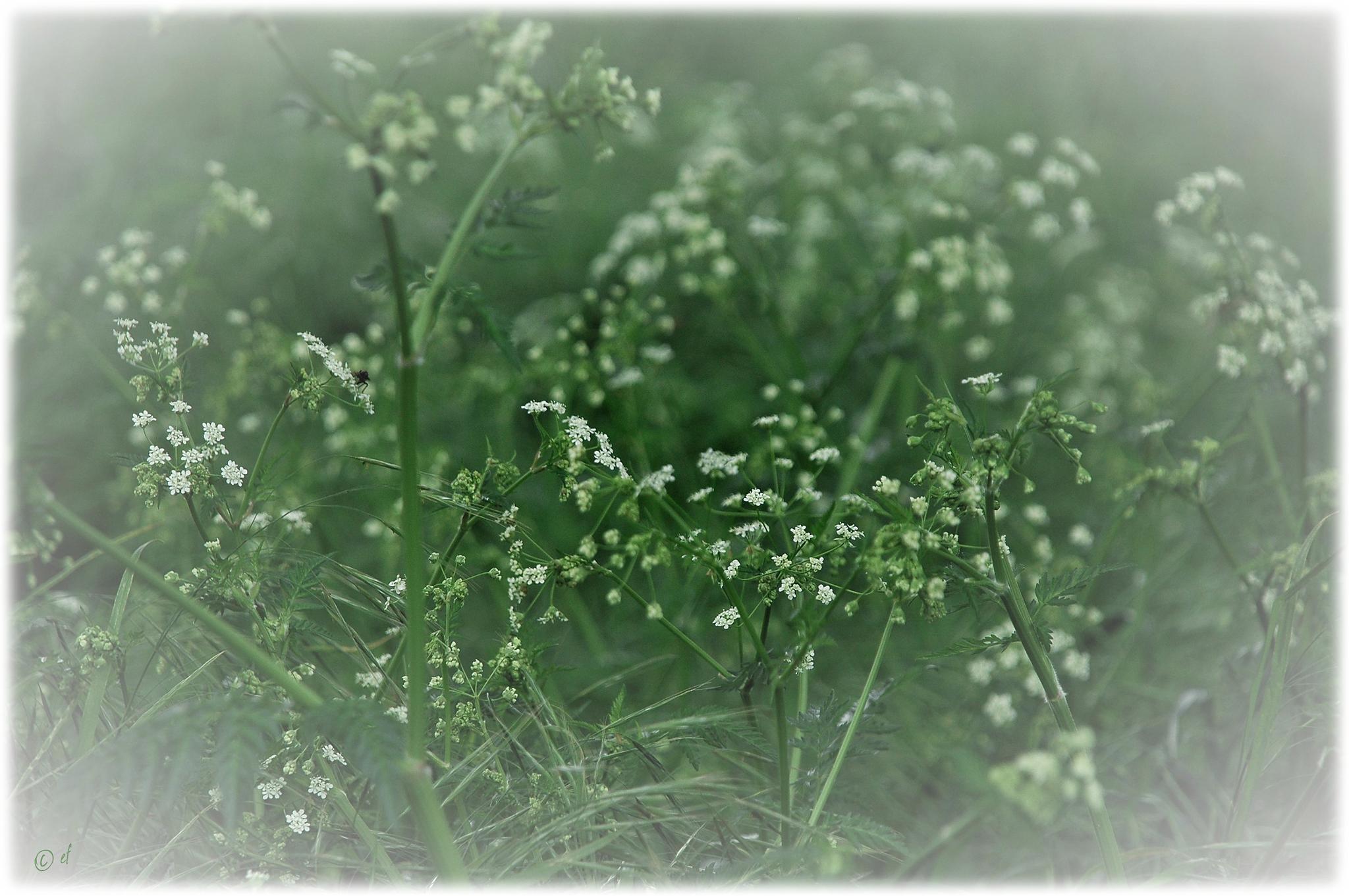 Der Wiesen-Kerbel
