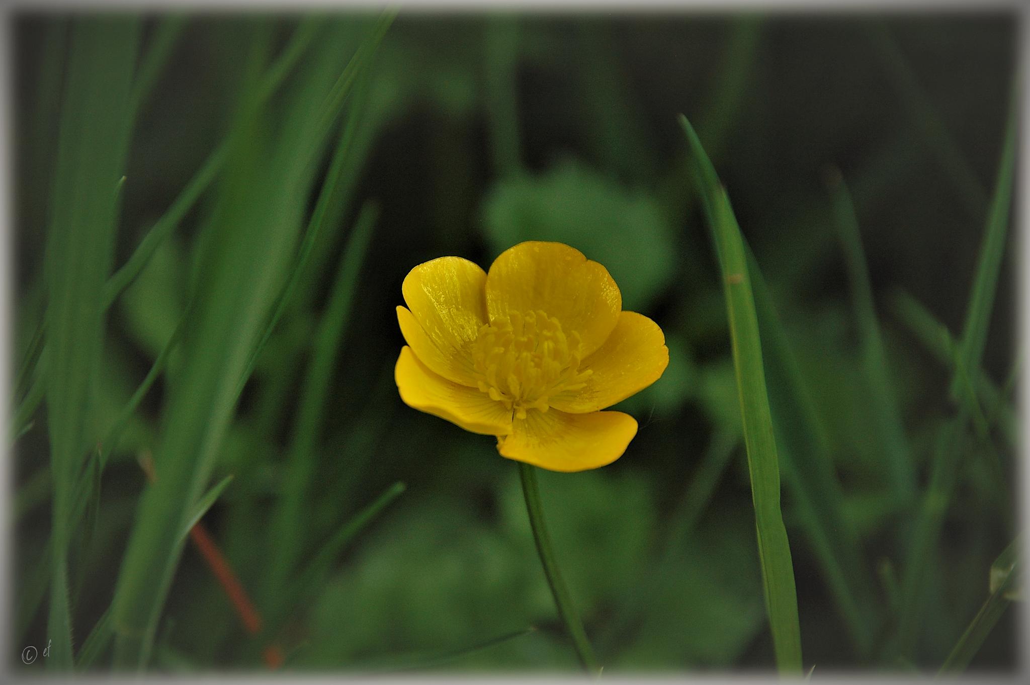 Der gelbe Blütenglanz