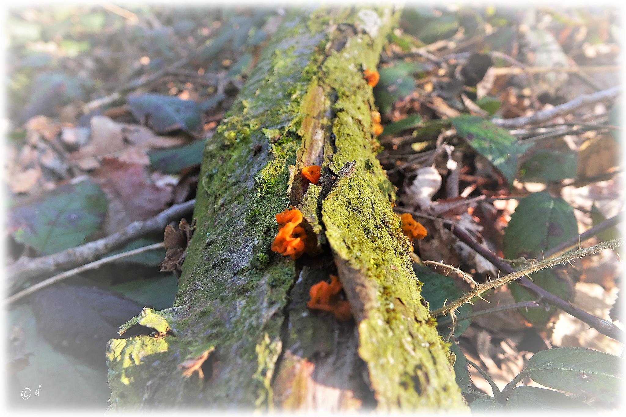 Der Gemeine Orangebecherling