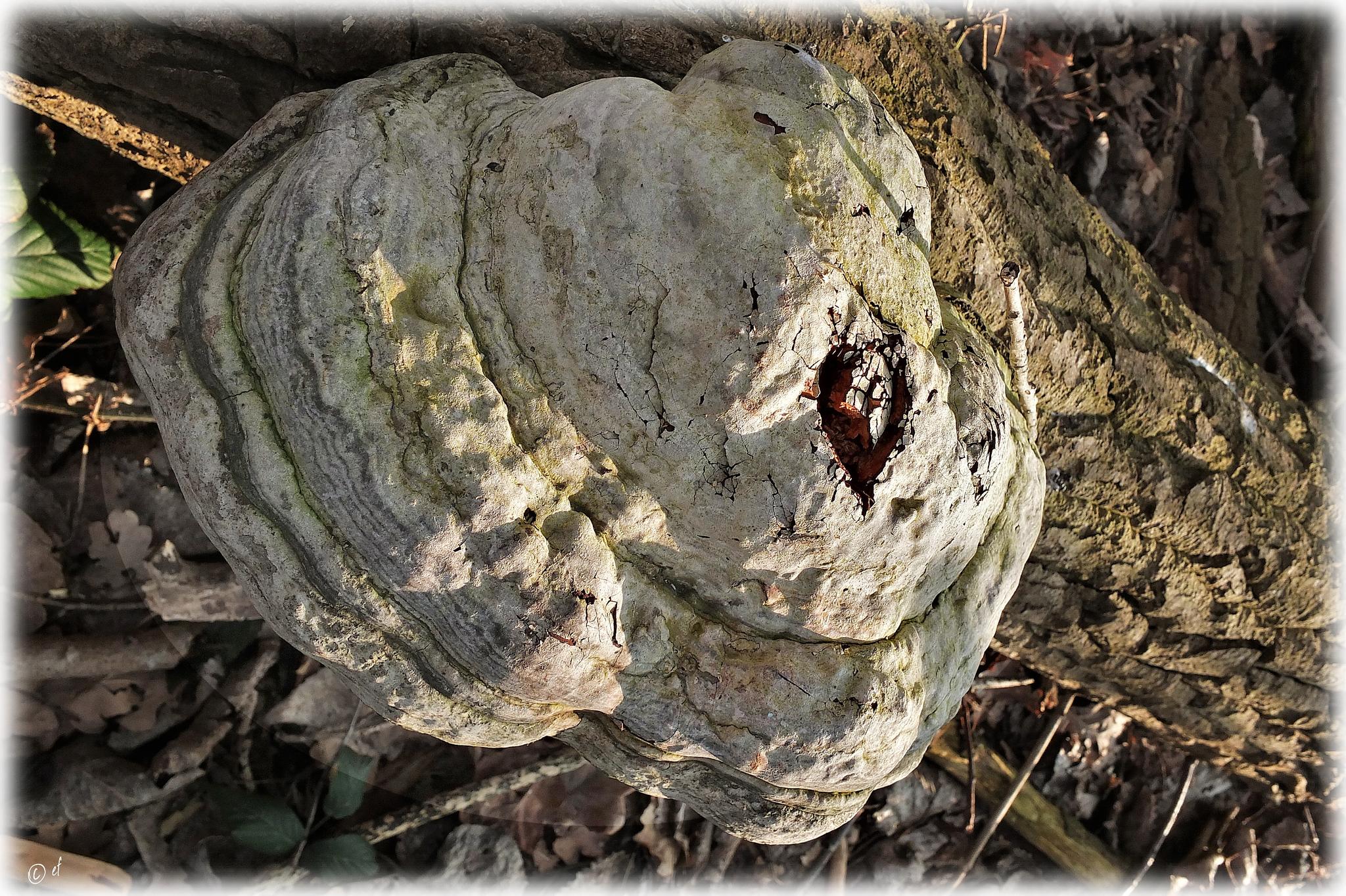 Der Pilz mit dem Herzen