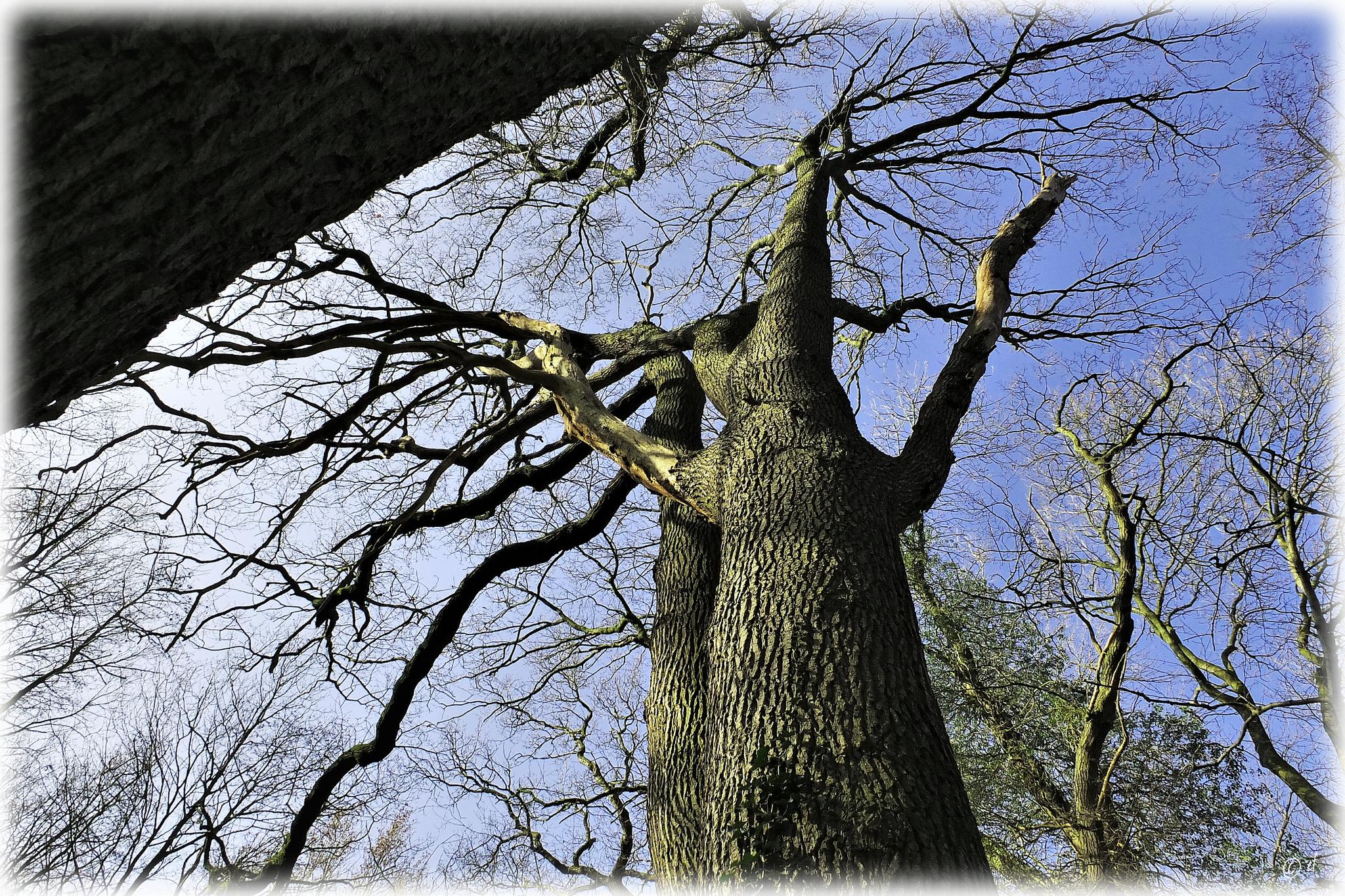 Ein Zwillingsbaum von unten betrachtet