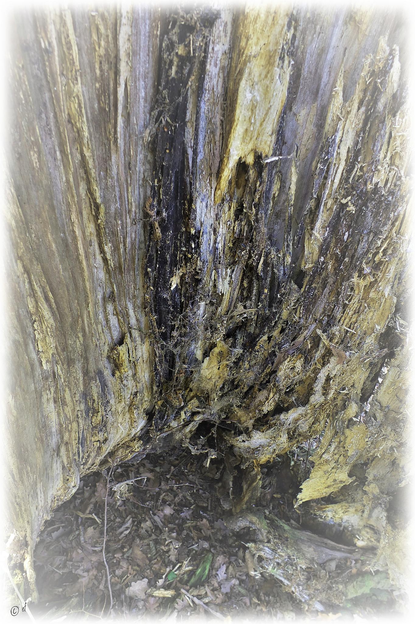 Das innere Bild eines Pappelstammes