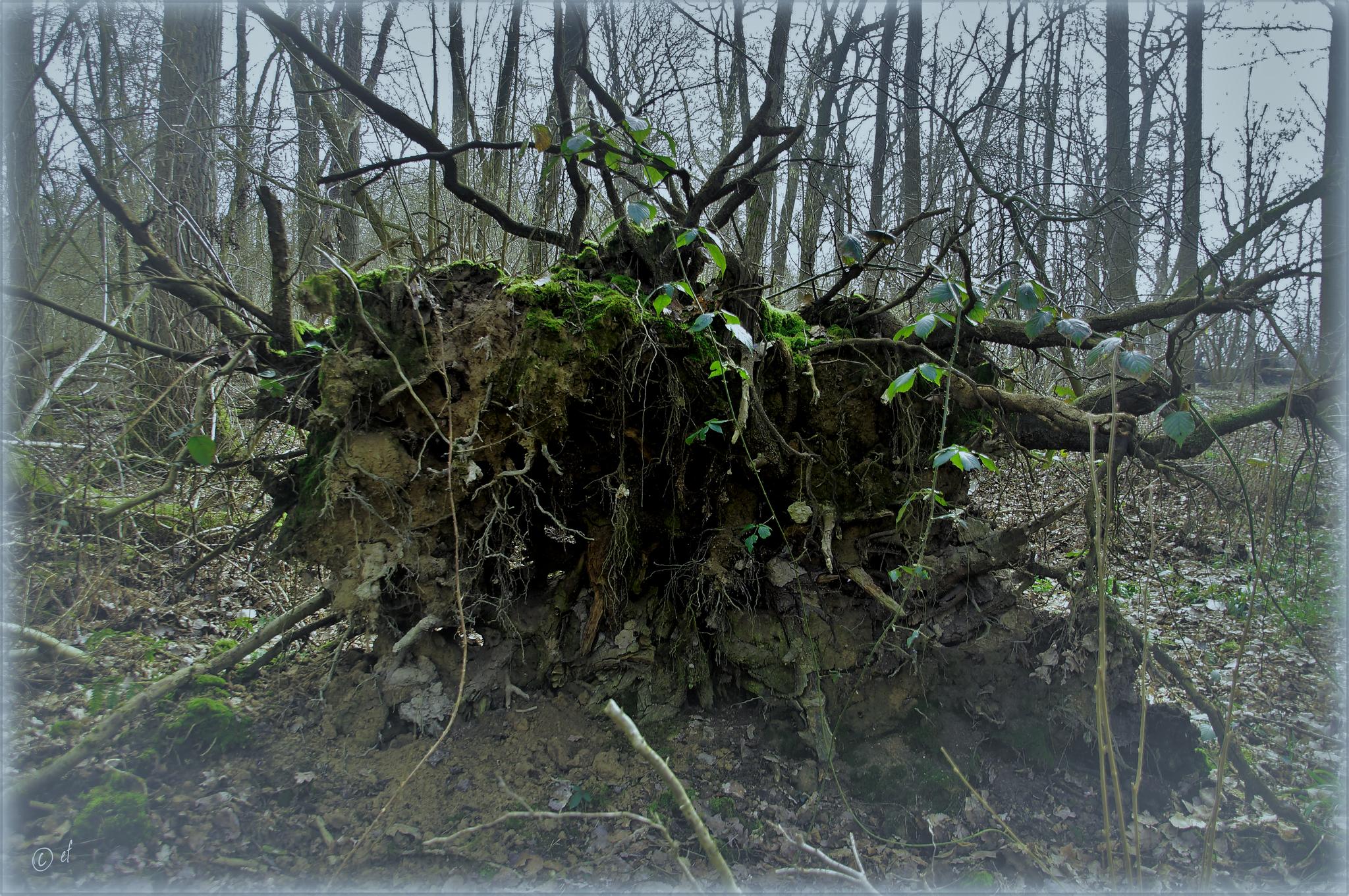 Die Wurzel der Waldgeister