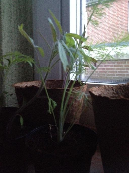 Tomaten? Sind aus derselben Tüte, müssen wohl Tomaten sein ... /22.04.16