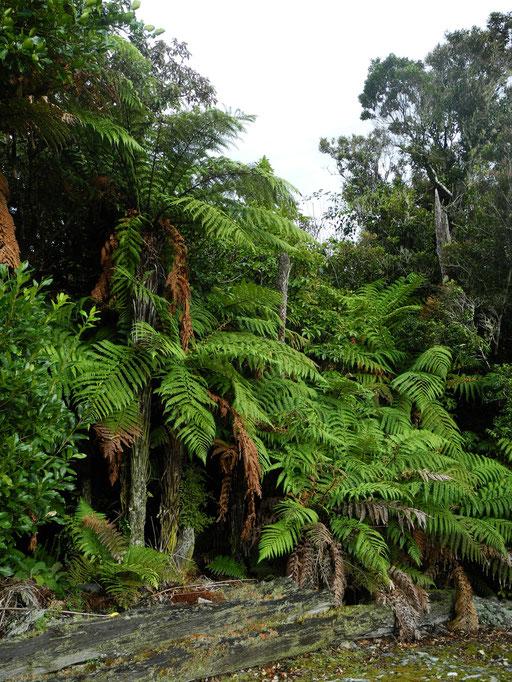 riesenfarn / NZ-fern