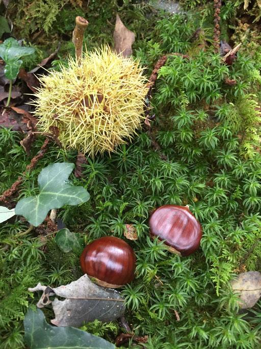 Châtaignes dans la forêt de Montaut