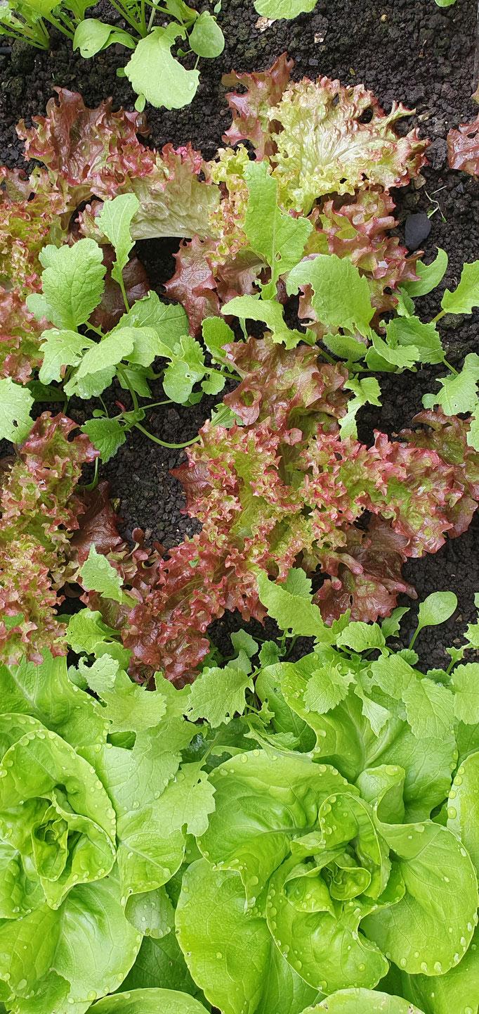 Anfang April, der Salat im Frühbeet kommt