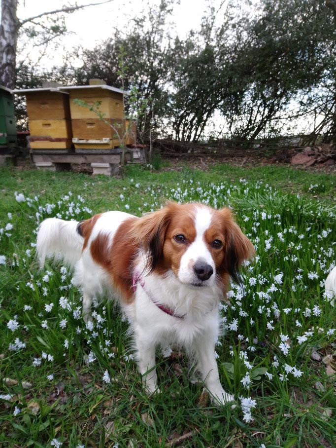 Grazia genießt die ersten Frühlingsblumen am Bienenstand.