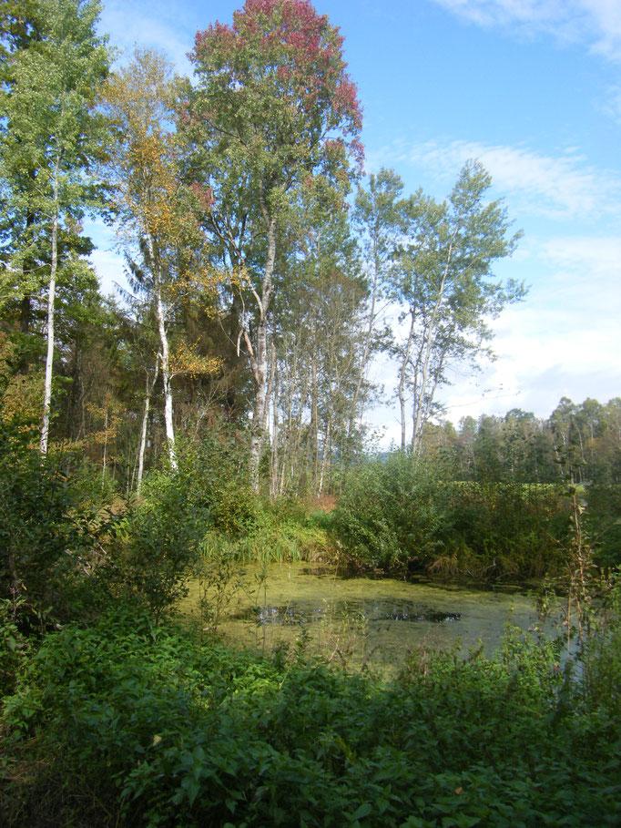 Birken an einem Moorsee