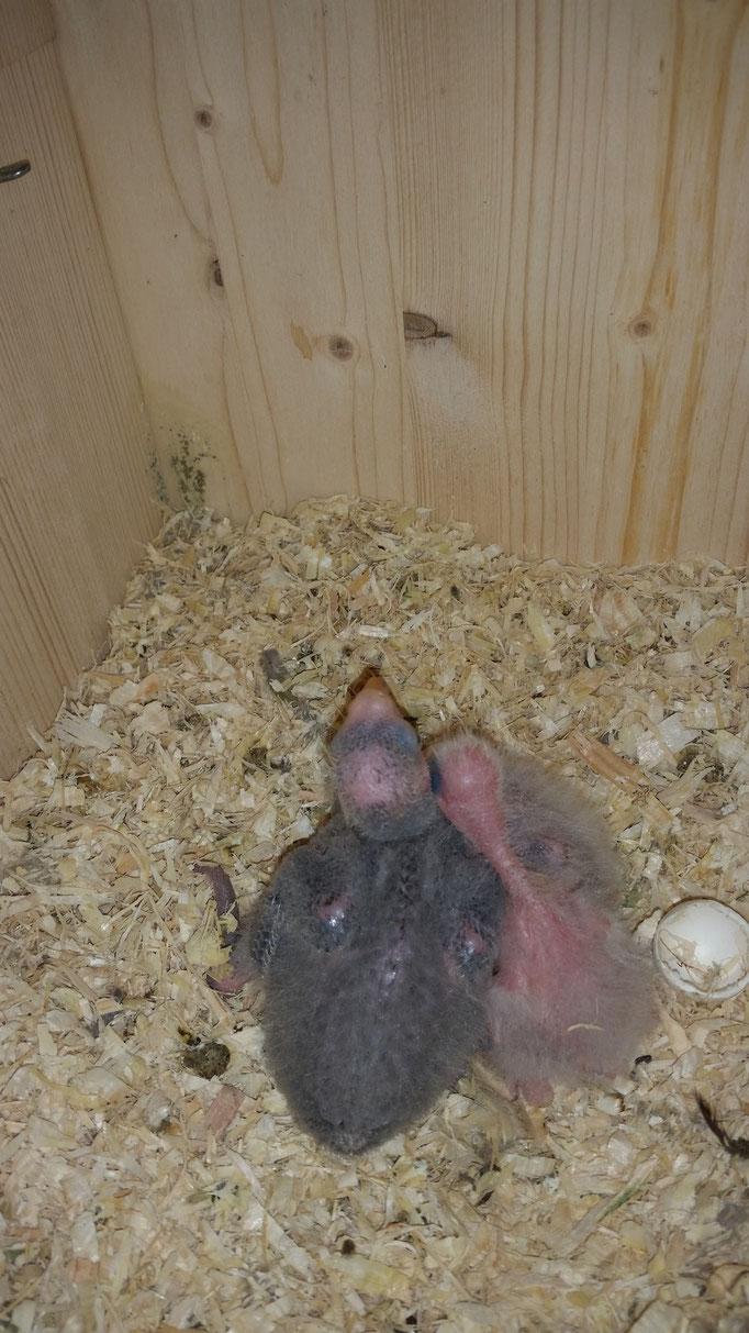 Barrabandsittiche 2 - 3 Wochen alt