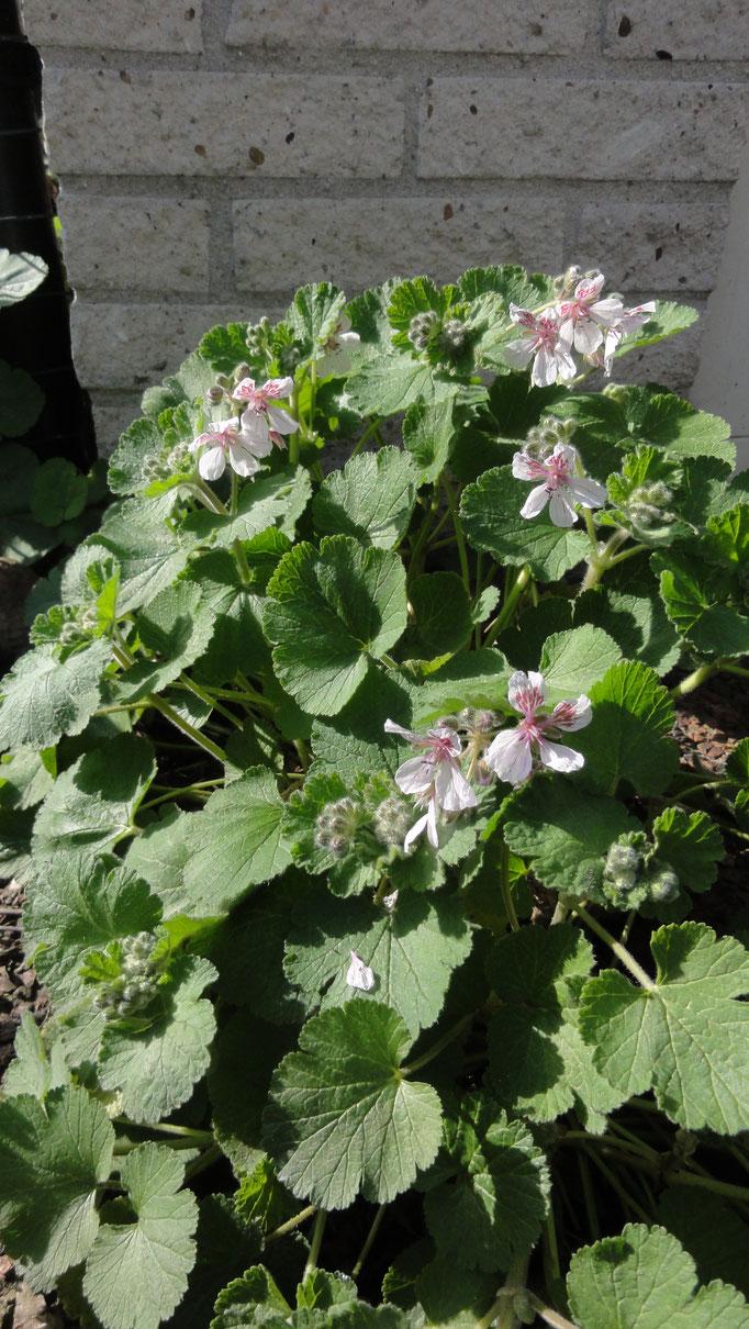 Erodium pelargonifolium