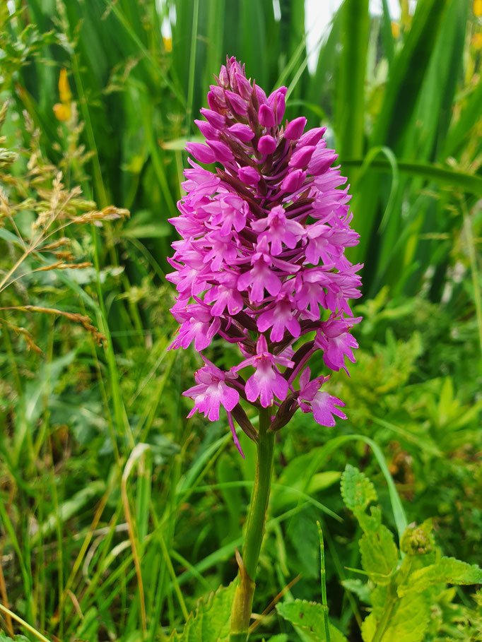 Pyramidal Orchid (photo by Steve Self)