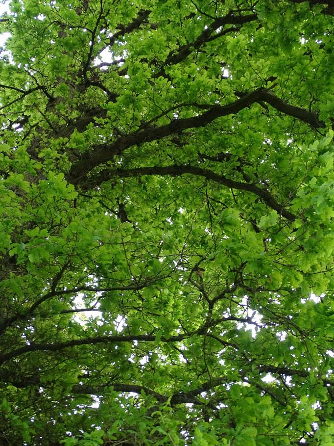 Oak (photo by Steve Self)