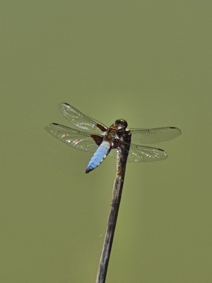 Broad-Bodied Chaser (photo by Steve Self)