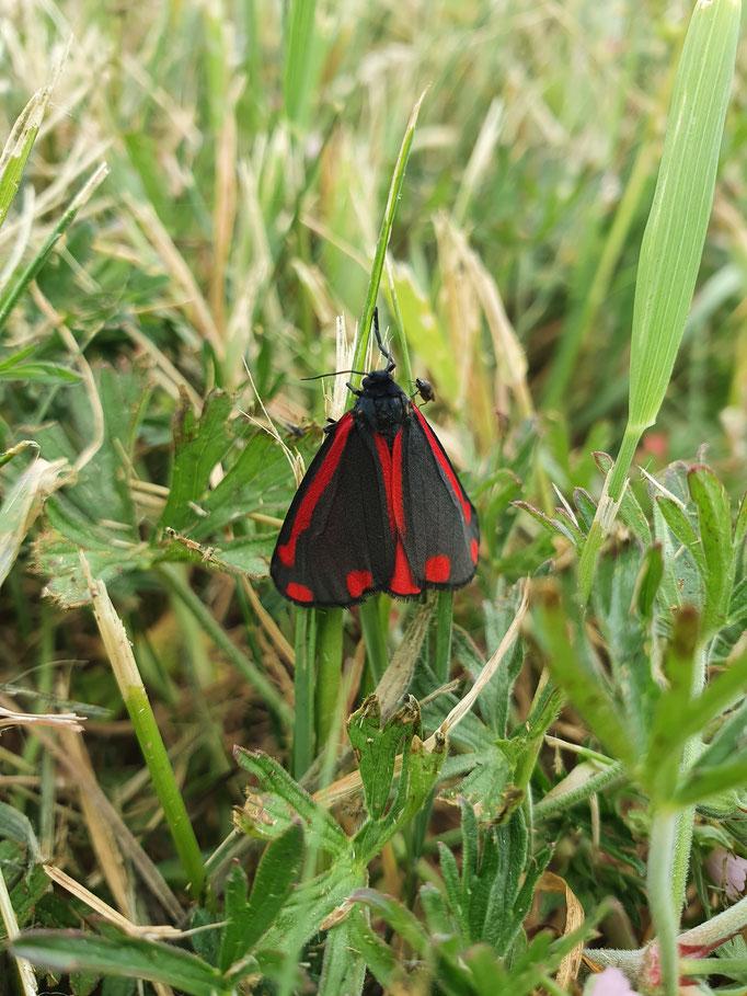 Cinnabar Moth (photo by Steve Self)