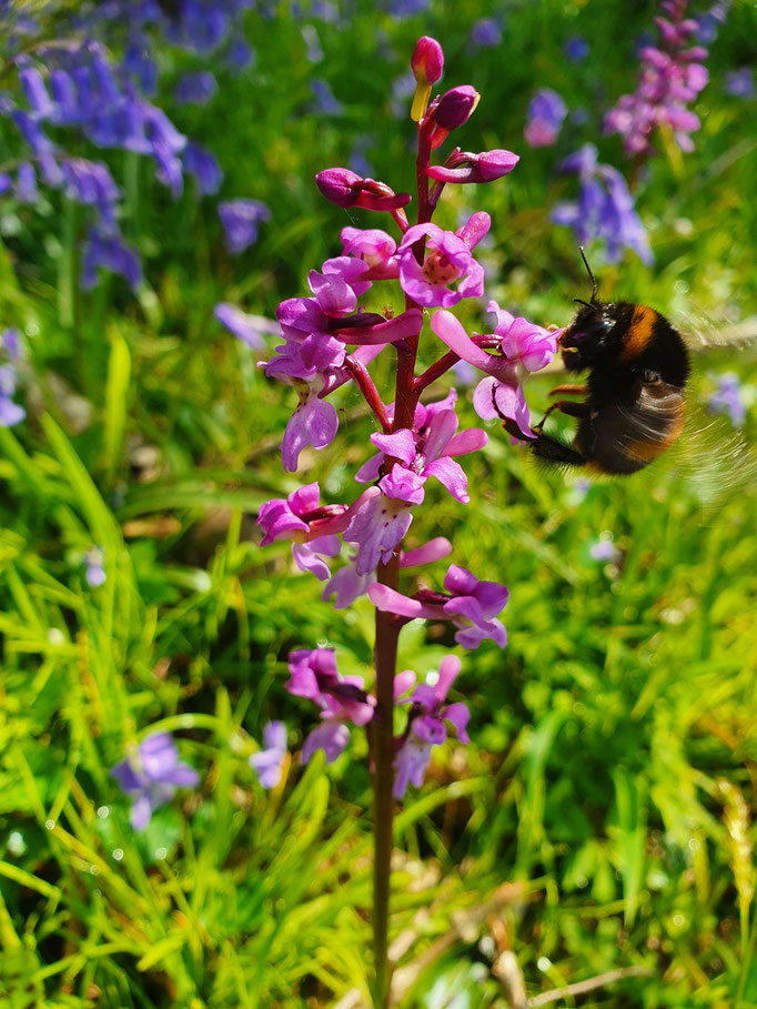Early Purple Orchid (photo by Steve Self)