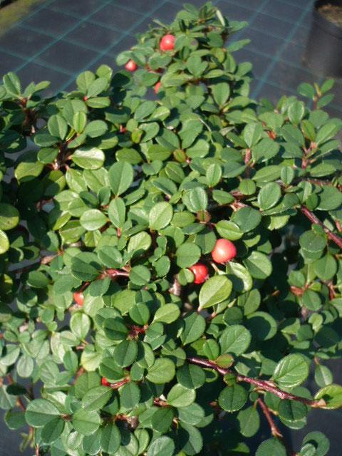 Cotoneaster Frieder's Evergreen   www.funke-pflanzen.de