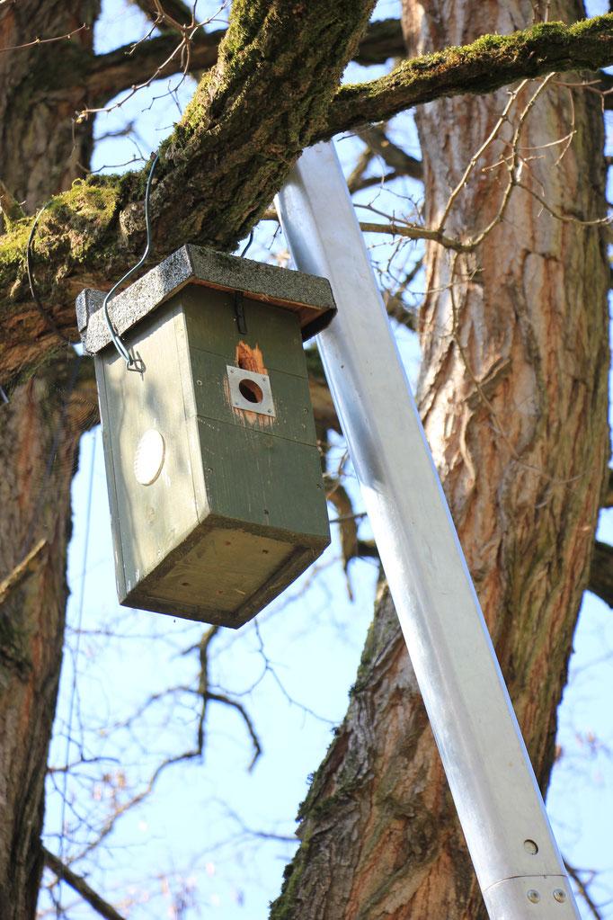 Nistkasten wieder hängt wieder am Baum (Foto: R. Budig)