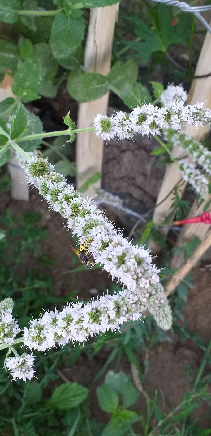 Wildbienen auf Blume