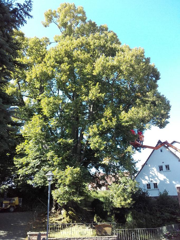 Totholzentfernung im Naturdenkmal