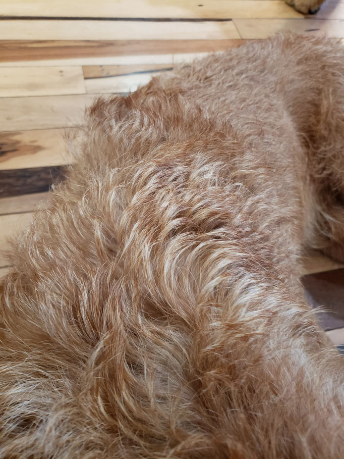 Ernie has a thick medium coat and needs grooming every 3-4 months