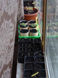 Jungpflanzen und noch Ungeborene besetzen die Fensterbank