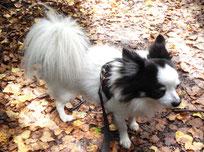 Chihuahua Herbstwald Achtsamkeit