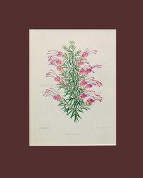 Botanical print, Grevillea