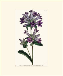 Clustered Bell-Flower